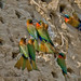 Red-throated Bee-eater (Merops bulocki) by Mike Barth - Bird Guide UAE