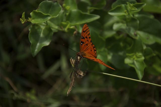 orange butterfly 8