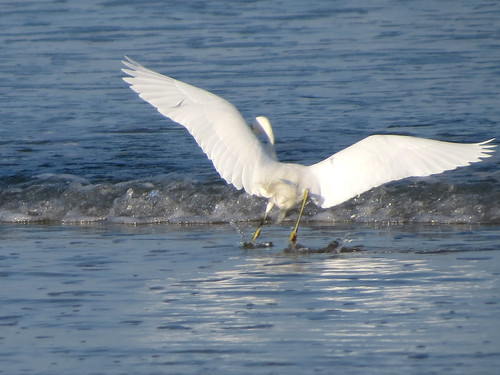 Snowy Egret | action