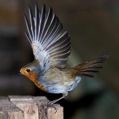 Blackbirds & Robins