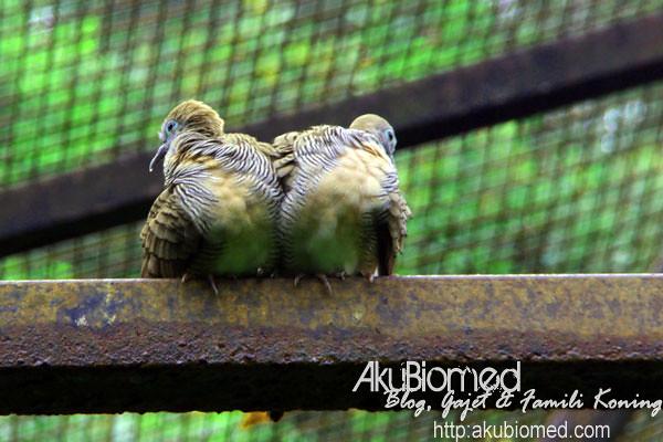 Burung merbuk 2 sejoli