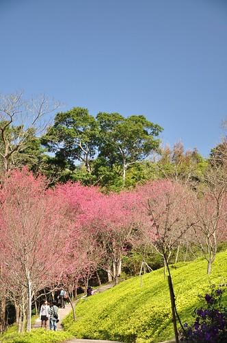 東勢林場-櫻花