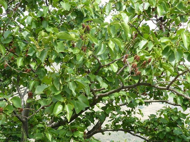 ici les aulnes ont des feuilles... de poirier? ( aulne corse)