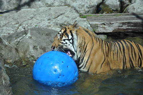 Tiger playing ball at Auckland Zoo