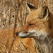 Red Fox by Inland Bay Photography
