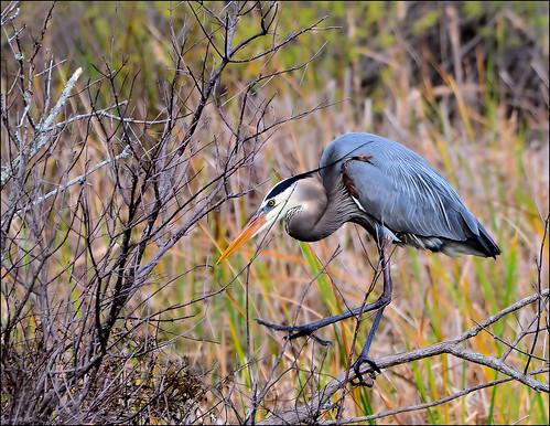 heron florida panamacitybeach wadingbird standrewsstatepark floridastateparks nikond3100 nikkor70300afsvrlens