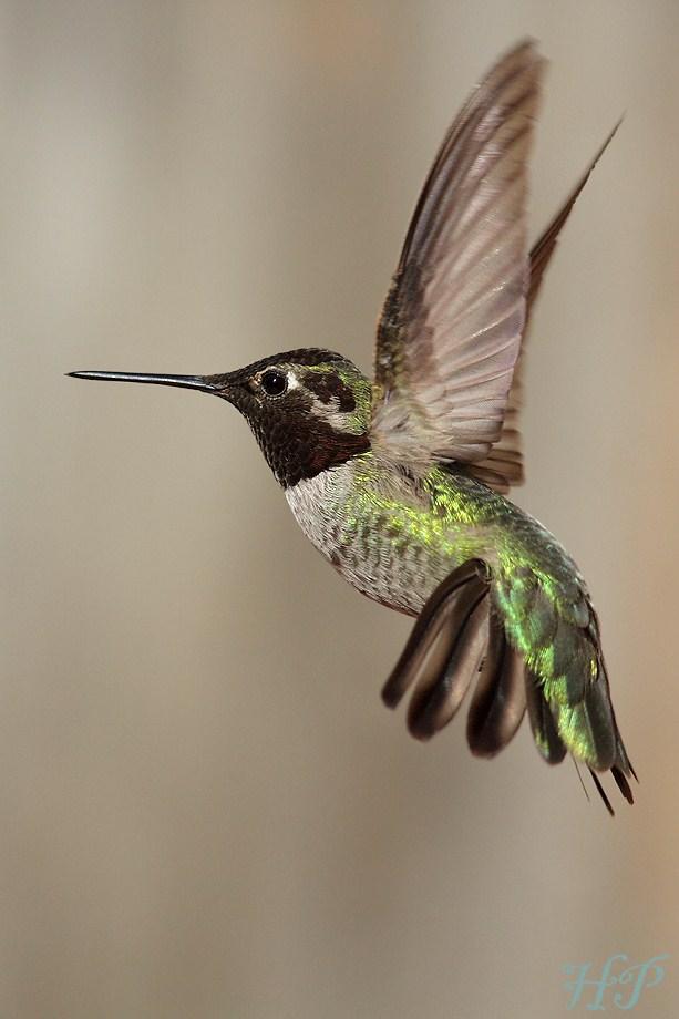 Anna's Hummingbird 020812