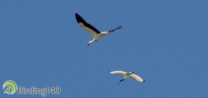 Ibis sagrado junto a cigüeña blanca en Perales del Río