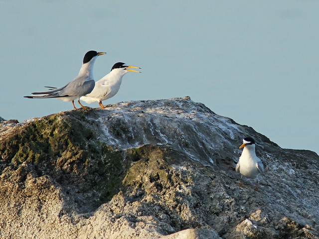 Least Terns interloper 02-20140411