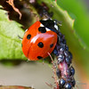 COCCINELLES03 by daumy