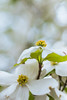 19042014_dogwood by Chicaco11
