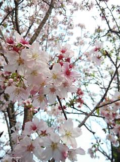 Mi3_Sakura_03