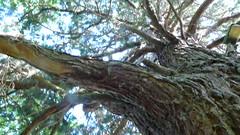 OIssel - Le parc municipal du ch�teau de la Marquise - Sequoia