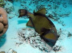 Titan Triggerfish (or Giant Triggerfish, or Moustache Triggerfish), Balistoides viridescens feeding at Sataya Reef, Red Sea, Egypt #SCUBA