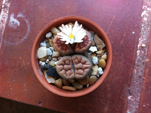 Ezra's cactus flower