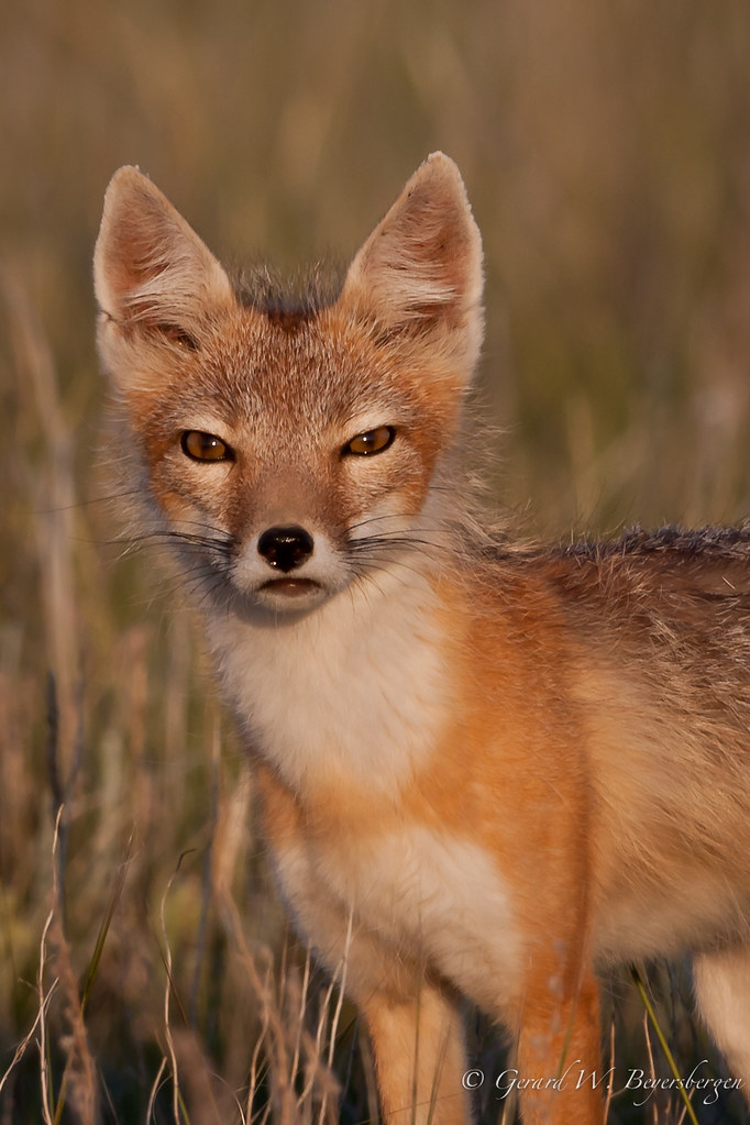 Swift Fox - male