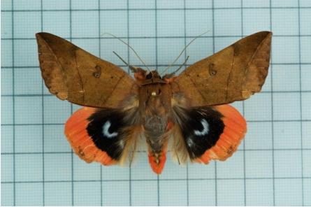 平時庸肖金毛翅夜蛾會把自己隱藏於環境中,一旦受到干擾,就會露出後翅,好好驚嚇天敵一番