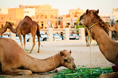 Lunch for camels