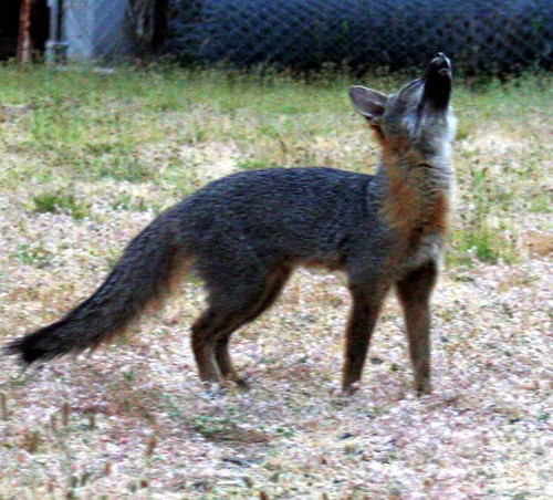 What does the fox actually say? – Scientific Scribbles Fox Barking Audio on fox landing, fox running away, fox and coyotes pets, fox and their pups, fox sounds bark, fox north america, fox shedding, fox stealing food, fox looking up, fox pin, fox digging, fox tail up, fox reading, fox charm, fox aggressive behavior, fox being chased, fox behavioral and characteristics, fox and hedgehog, fox crying sound, fox and hen,