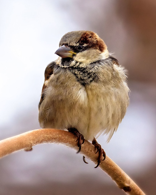 Profile of a Male House Sparrow.