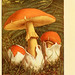 Nouvel atlas de poche des champignons comestibles et vénéneux  v.1.