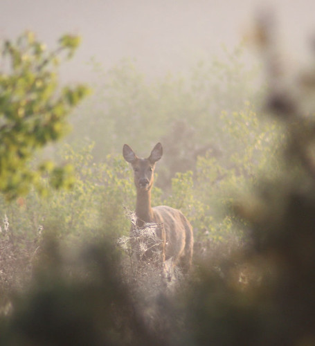 Roe Deer, Early Morning, Yateley Common, Country Park, Ranger Jean, 2011