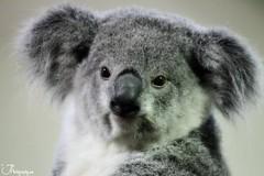animal, fur, mammal, koala, fauna,