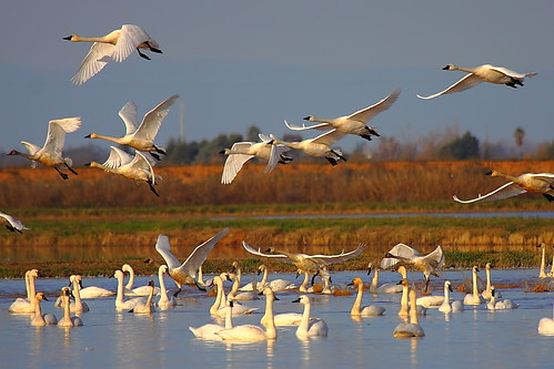 IMG_8904 Tundra Swan by ThorsHammer94539