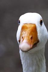 Duck free