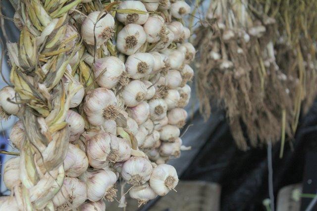 some of Purple Pear's 2011 garlic crop