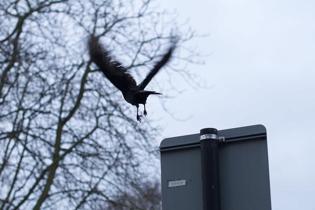 crow away