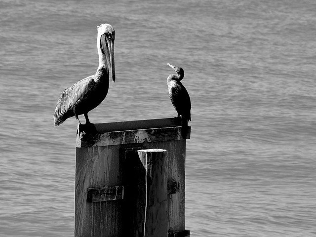 Friends - Pelican & Aninhga