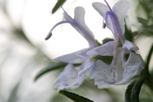 rosemary flower 051