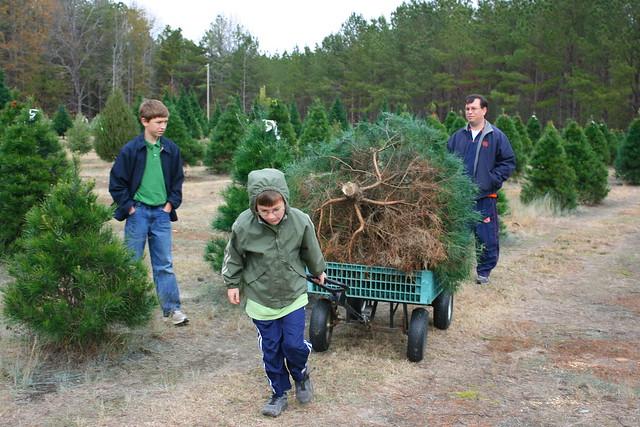ChristmasTreeCuttingDownTradition2011 - 15