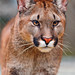 Walking young female puma