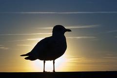 Sea Gull Silhouette 3