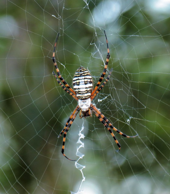 Black And Yellow Garden Spider Poisonous
