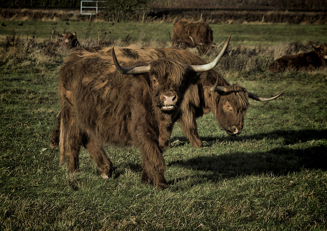 Highland cattle at Hambrook Marshes, Canterbury