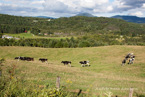 A Herd of Cows in Lyndonville-17.jpg
