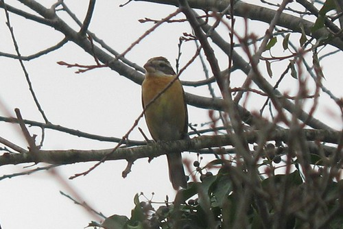 bird pheucticusmelanocephalus