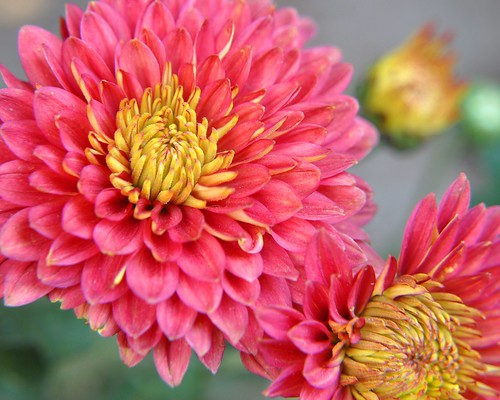 Red Chrysanthemum (Chrysanthemum morifolium)