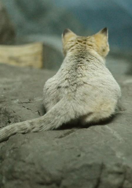 San Cat Snub