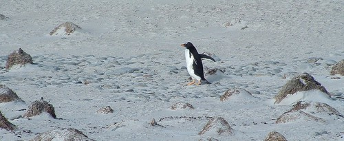 Gentoo Penguin, Volunteer Point by Lou Lou Donut