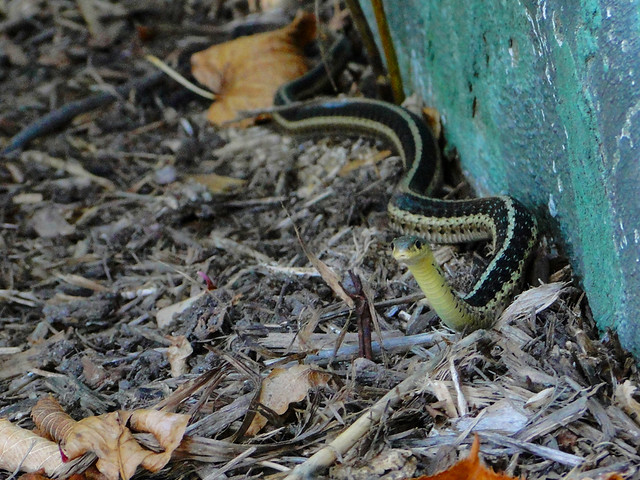 Garter Snake Flickr Photo Sharing