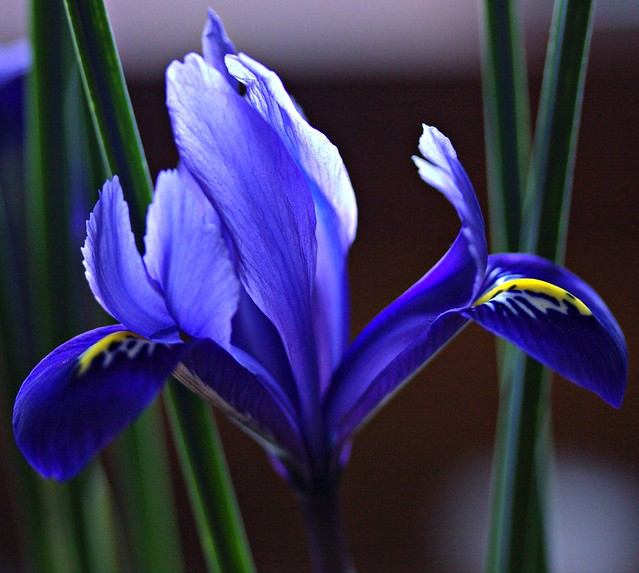Miniature Irises
