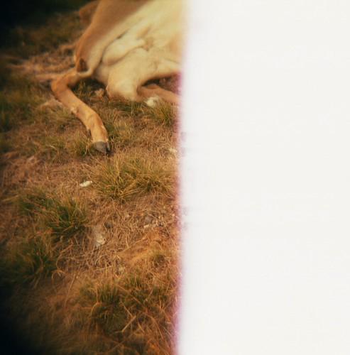 deer, pine grove