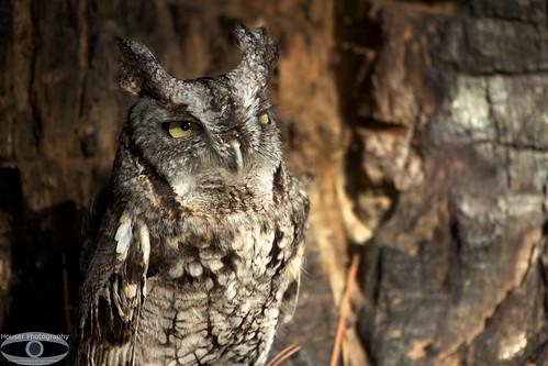 Carolina Raptor Center Screech Owl 645