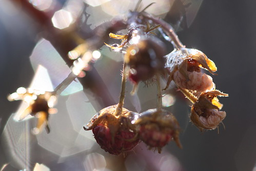 morning macro ice nature fruit bokeh ngc sparkle raspberry melt sunlit freezingrain glisten wildraspberries