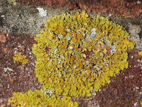 Lichen (Candelariella aurella) by Peter Orchard