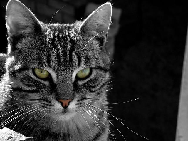 Gato color selectivo